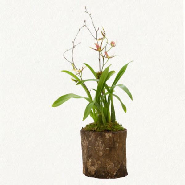Tree Bark Orchid - Terrain